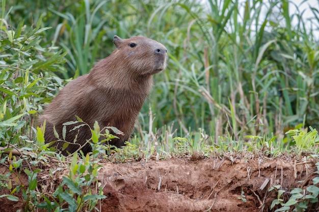 Capybara dans l'habitat naturel du nord du pantanal