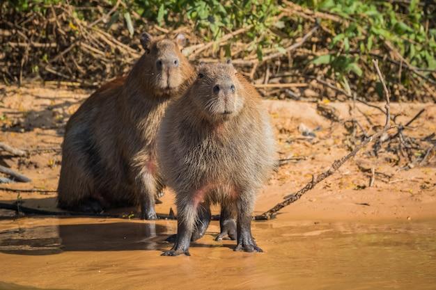 Capybara dans la nature