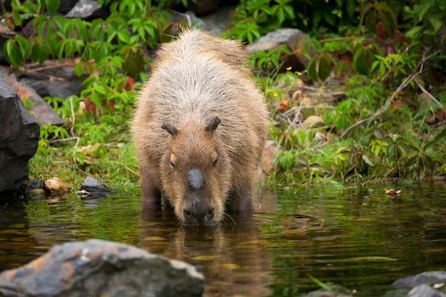 Capybara à l'état sauvage
