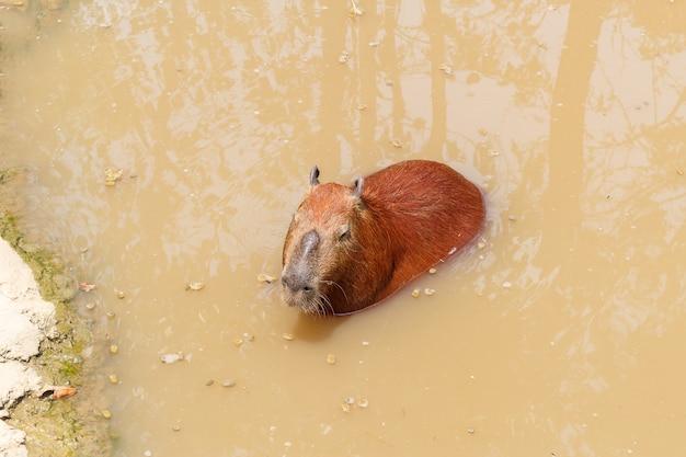 Capybara hydrochaeris hydrochaeris