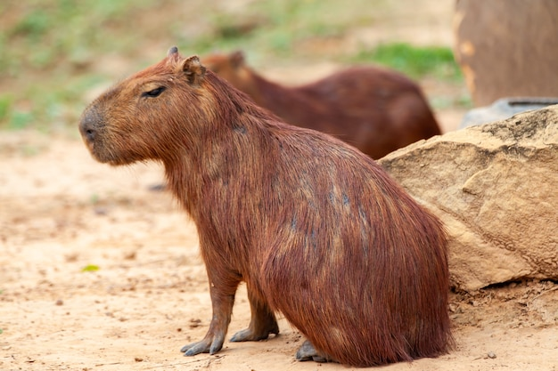 Capybara, hydrochoerus hydrochaeris, le plus grand rongeur à dents.