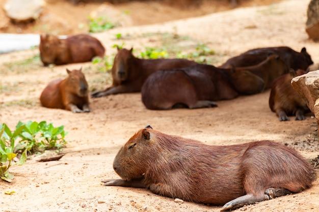 Capybara, hydrochoerus hydrochaeris, le plus gros rongeur denté.