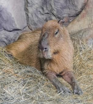 Capybara, (hydrochoerus hydrochaeris)