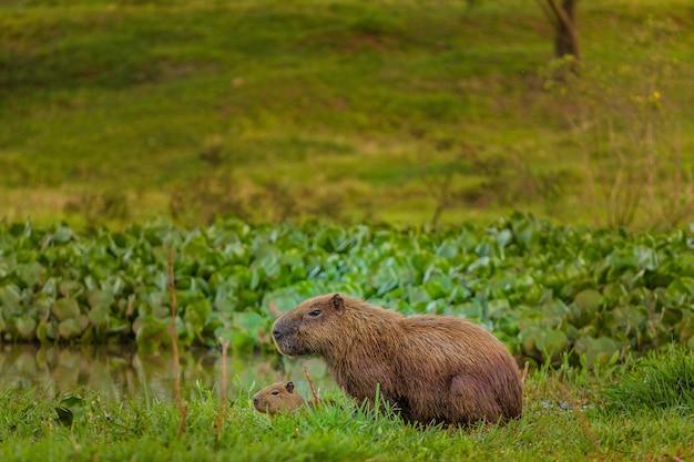 Capybara avec petit