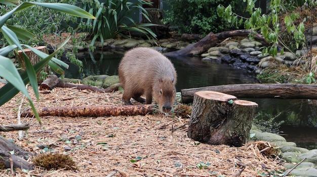 Un capybara regardant la caméra