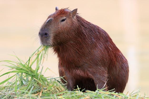 Capybara en train de manger