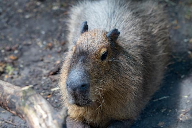 Capybaras endormis - hydrochaeris hydrochaeris - le plus grand rongeur vivant au monde.