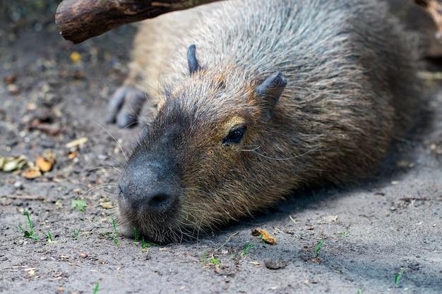 Capybaras endormis, hydrochaeris hydrochaeris. le plus gros rongeur vivant du monde.