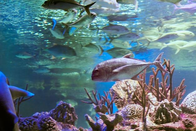 La carangue géante est un prédateur suprême dans la plupart de ses habitats et est connue pour chasser individuellement et en bancs.
