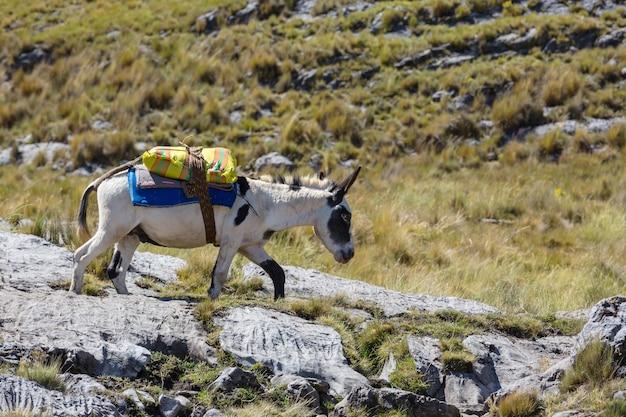 Caravane d'ânes à cordiliera huayhuash, pérou, amérique du sud