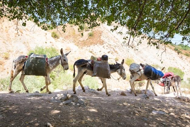 Caravane d'ânes dans la montagne fann, tadjikistan