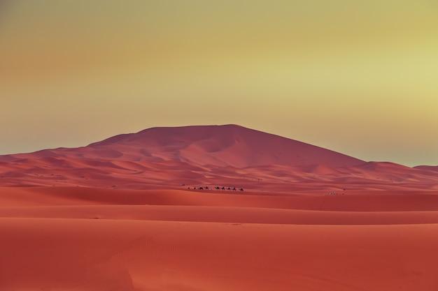 Caravane de chameaux à l'aube dans le désert du sahara.