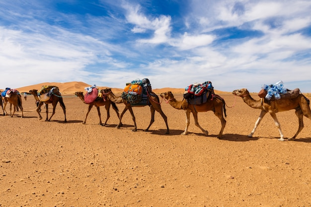 Caravane de chameaux dans le désert du sahara, maroc