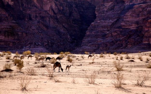 Caravane de chameaux dans un désert