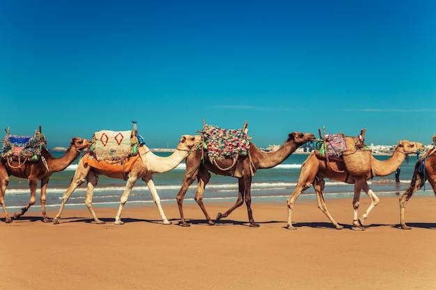 La caravane de chameaux longe la rive de l'océan atlantique.