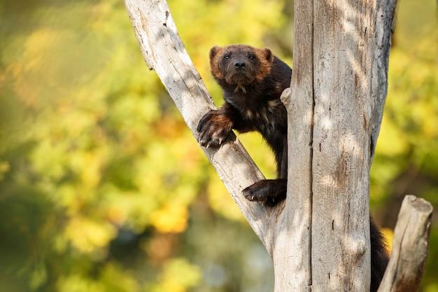 Le carcajou majestueux s'accroche à un arbre devant la nature colorée