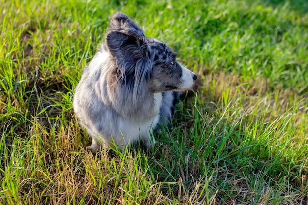 Cardigan corgi gallois sur l'herbe verte en plein air