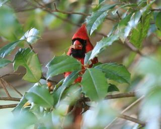 Cardinal dans le houx