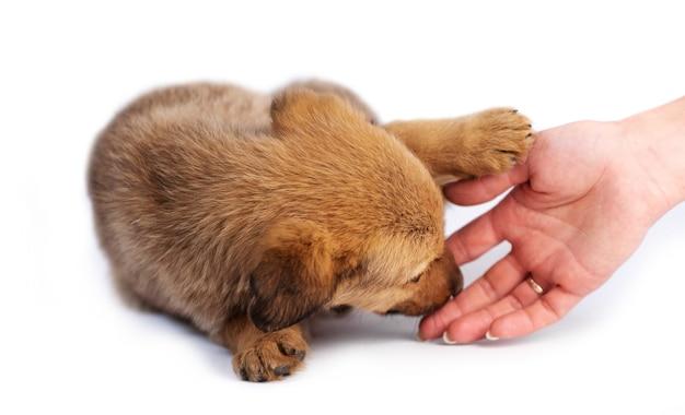 Caresser la main mignon chiot brun clair isolé sur fond blanc