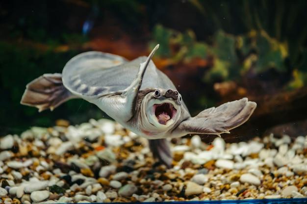 Carettochelys insculpta. la joyeuse tortue nage sous l'eau. animaux drôles.
