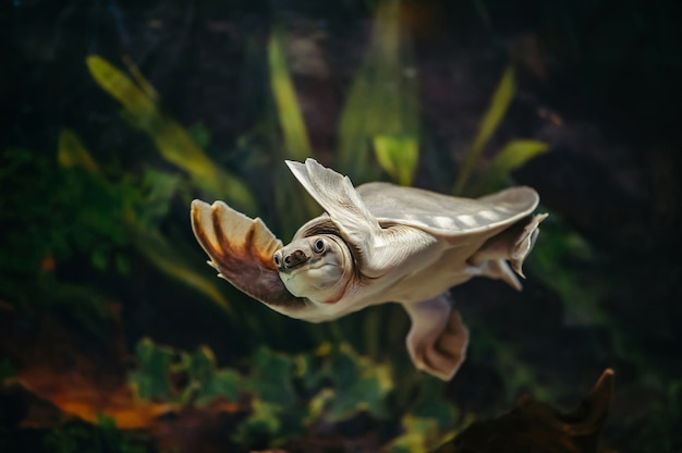 Carettochelys insculpta. la tortue à nez de cochon nage dans un aquarium.