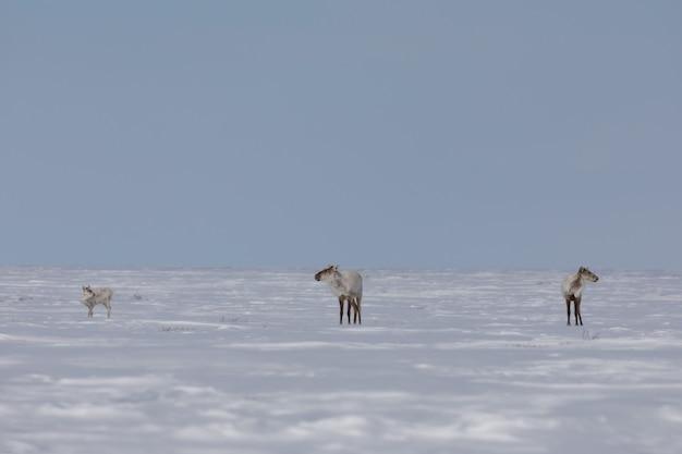 Caribou de la toundra trouvé dans la toundra arctique canadienne