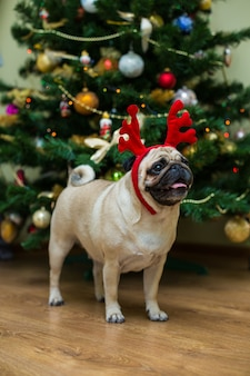 Carlin avec bois de cerf rouge. chien heureux. chien carlin de noël. ambiance de noël. un chien dans l'appartement.
