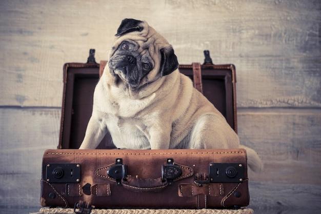 Carlin chien drôle de voyageur dans un bagage assis.