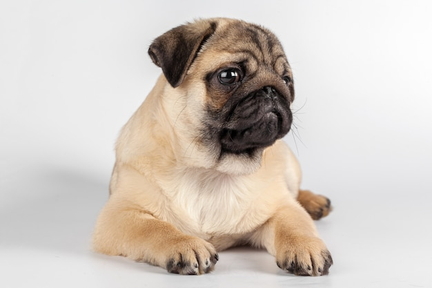 Carlin chien isolé