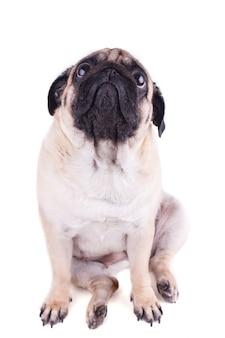 Carlin triste chien est assis et levant les yeux.