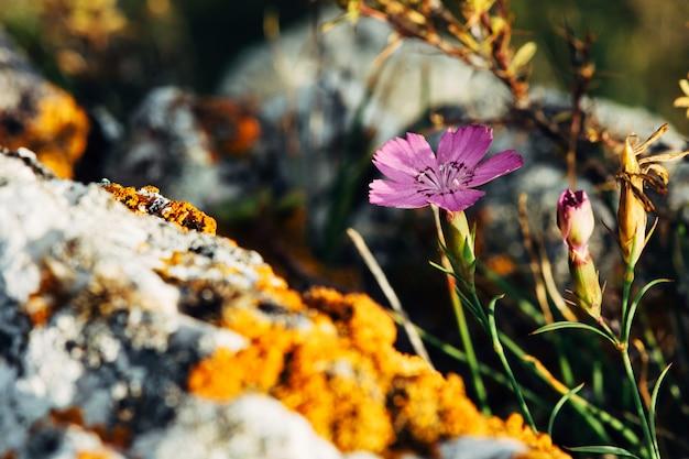 Carnation fleurit dans le terrain montagneux parmi les rochers.