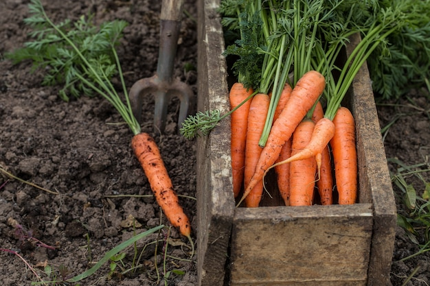 Carotte fraîche dans une vieille boîte. récolte de légumes