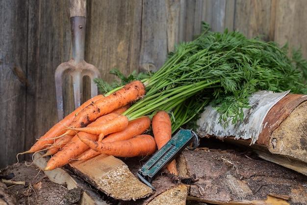 Carottes fraîches cueillies dans le jardin, récolte de légumes