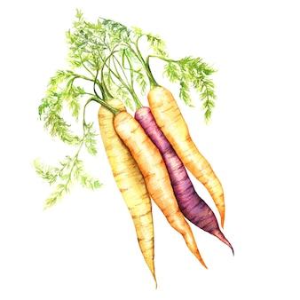 Carottes fraîches avec illustration aquarelle de feuilles. ensemble de légumes dessinés à la main réaliste isolé