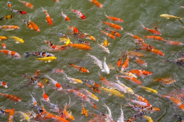 Carpe fantaisie nageant dans un étang, poisson coloré koi.