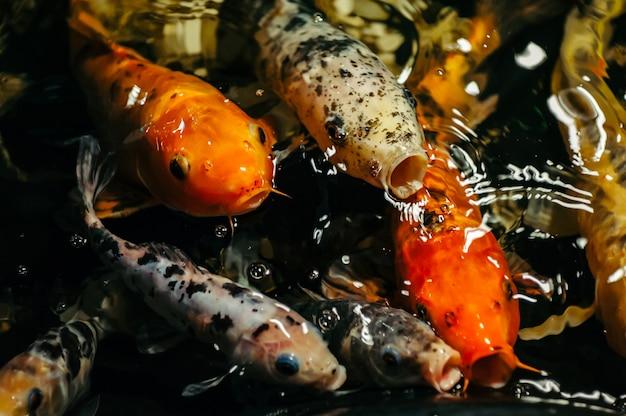 La carpe fantaisie ou le poisson koi sont rouges, orange, blancs, noirs. vue de la carpe - bekko. des poissons lumineux décoratifs flottent dans un étang. fermer.