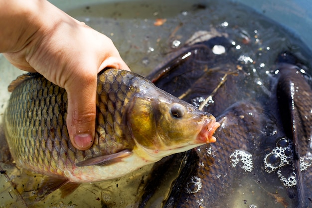Carpe poisson de rivière vivant