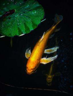 Carpes fantaisie poisson