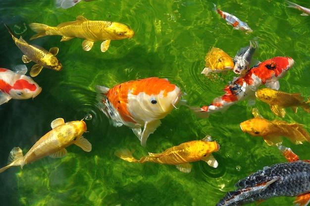 Carpes koi dans étang