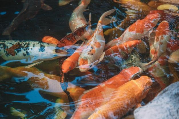Carpes et poissons koi sur un étang