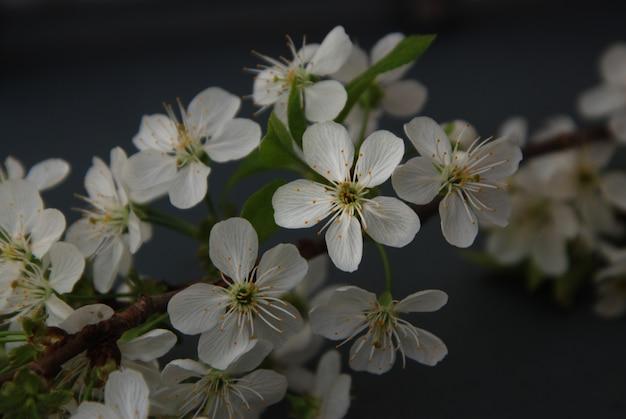 Carte darck printanière, bouquet de fleurs de cerisiers en fleurs blanches