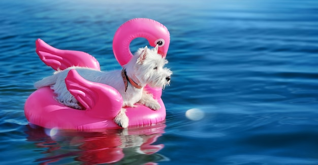 Carte large avec west highland terrier se reposant dans la piscine