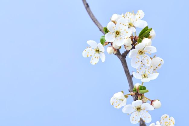 Carte postale de félicitation avec close up tendre branche de cerisier en fleurs