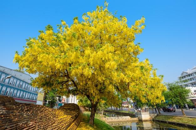 (cassia fistula, golden shower tree) fleur jaune qui fleurit sur le bord de la route en avril autour de l'ancien mur, chiang mai, thaïlande