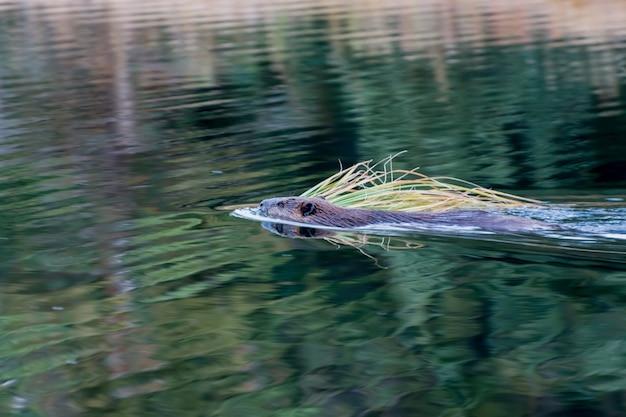 Castor d'amérique du nord (castor canadensis)