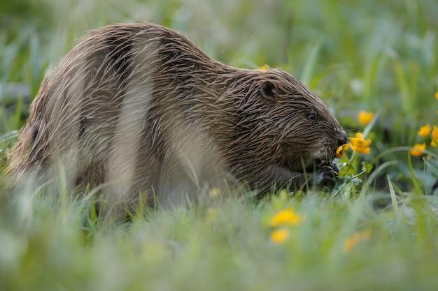 Castor européen sauvage dans le magnifique habitat naturel de la république tchèque