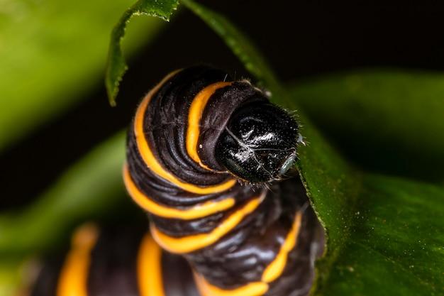 Caterpillar mangeant des feuilles sur un arbre.