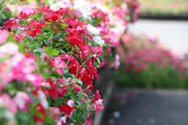 Catharanthus roseus g.don fleurs colorées décorer à fond de parc public de thaïlande