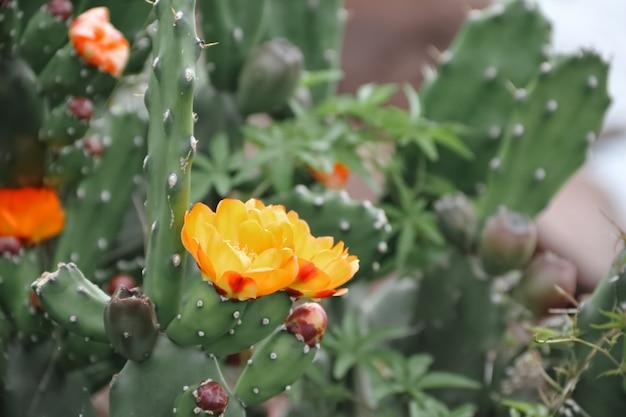 Catus en fleur au printemps