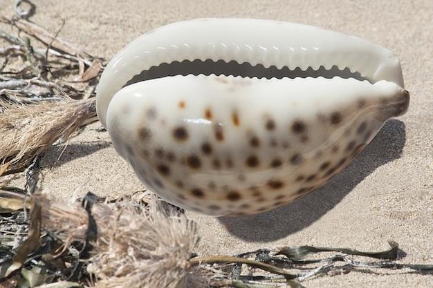 Cauris porcelaine porzellanschnecke cauris